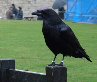 One of the resident ravens at the Tower of London perches on a post.
