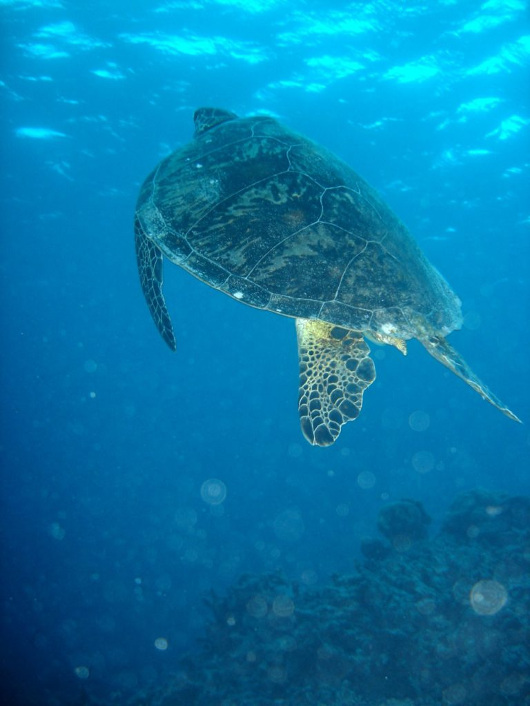 A turtle in the Great Barrier Reef, Australia / By Nize, CC BY 2.5