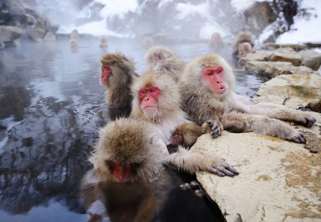 Japanese Snow Monkey's playing in the water. Image by Sepovane.